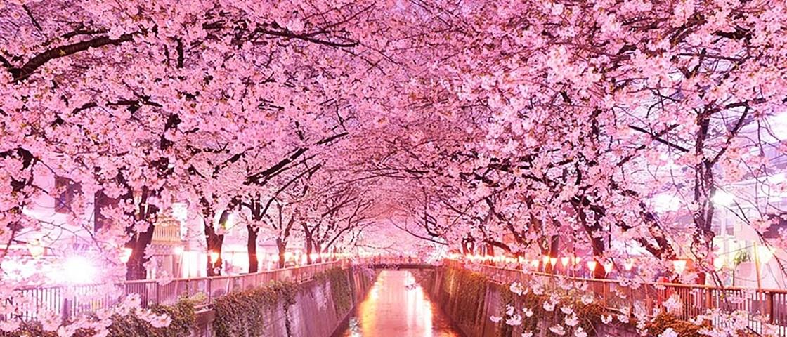 10 Jenis Bunga Sakura Di Jepang Nippon Club